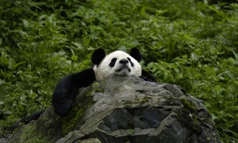 Giant Pandas No Longer Endangered