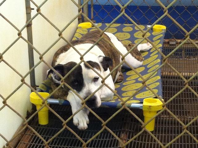 November 3, 2013- One of the many beautiful dogs that is rescued from the filthy streets. Humane Society Forsyth County