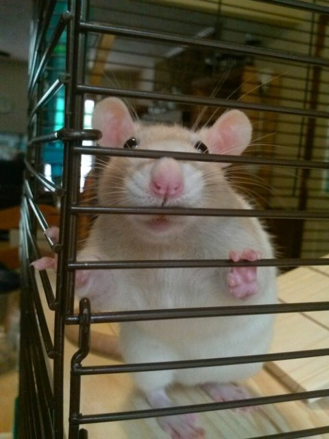 June, my eldest rat, probably thinks that she's about to get a treat. She probably is.