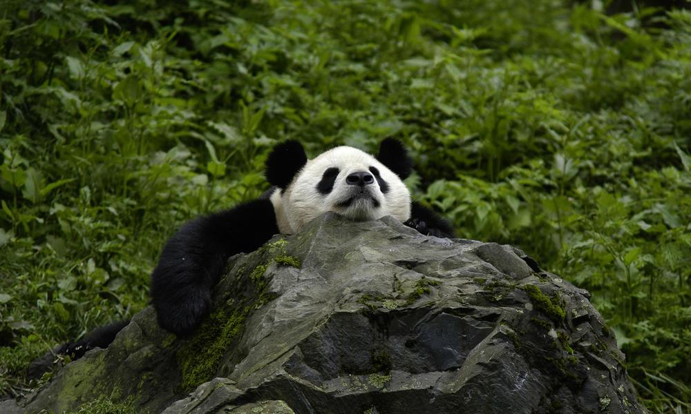 Photo by Bernard De Wetter. The Giant Panda happily hangs out on a rock in its natural habitat in China. China is where Giant Pandas are commonly found.