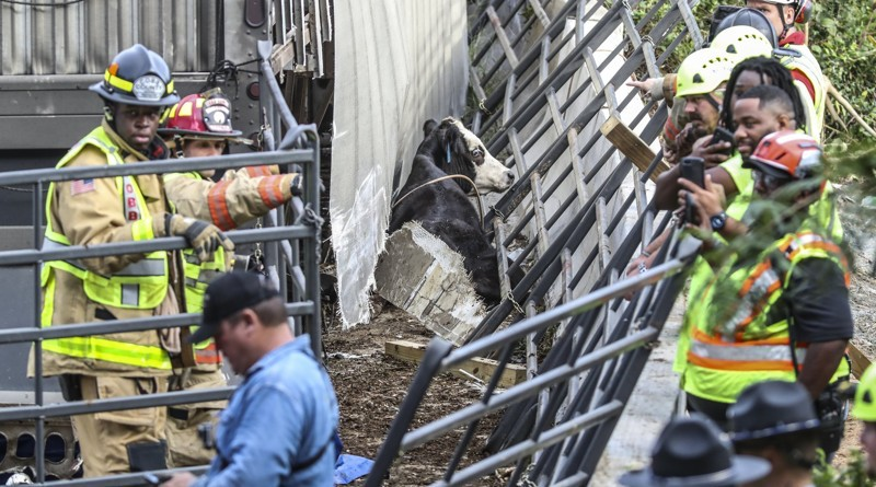 Cobb County Firefighters work to free the cows who were trapped in the wreckage after the accident. (Photo from JOHN SPINK/JSPINK@AJC.COM (The Atlanta Journal Constitution)).