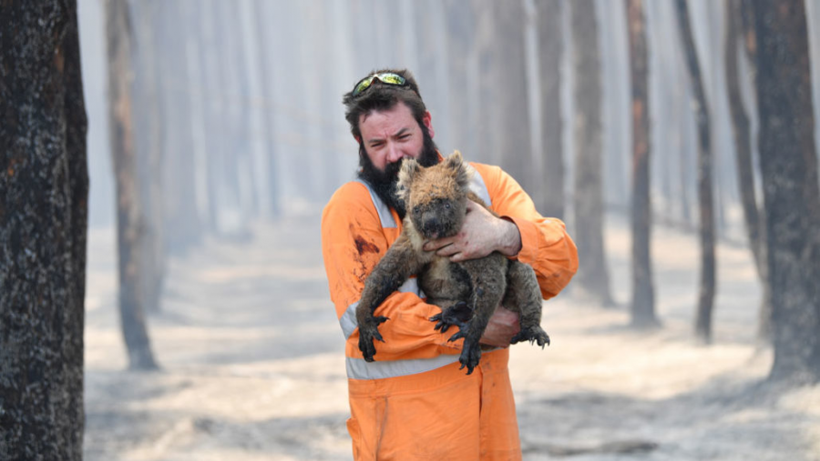 Wildlife+rescuer+Simon+Adamczyk+helping+a+koala+to+safety.+At+least+25%2C000+koalas+have+died+in+the+past+month.+%28Photo+by+David+Mariuz%29%0A